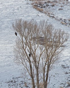 Bald Eagles in the Teton National Park near Jackson Hole, Wyoming