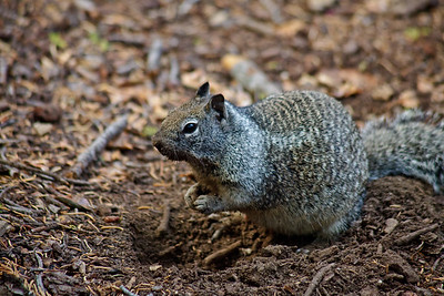 Squirrel Yosemite NP California, USA