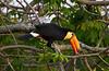 Iguazu Toucan