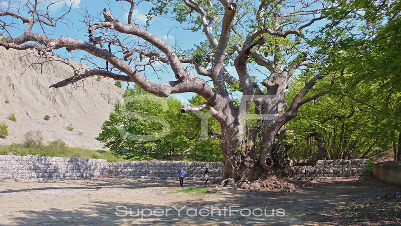 Gigantic plane tree, Mantoudi, Evia