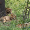 The most amazing pride of lions we encountered was immeadiately after landing and before we reached the lodge. This amazingly comfortable group of two males and two females just realxed as we quitely viewed and than passed by their break area.