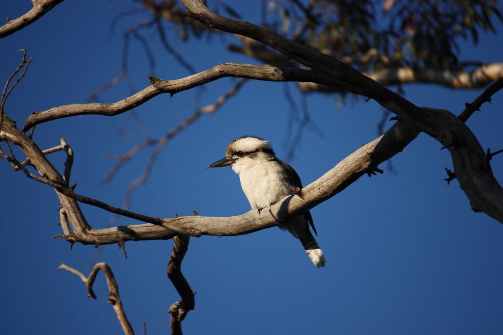 Kookaburra, Canberra, Austrailia