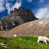 Wild Mountain Goats     Glacier Park