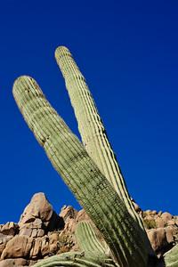 Sonoran Cactus