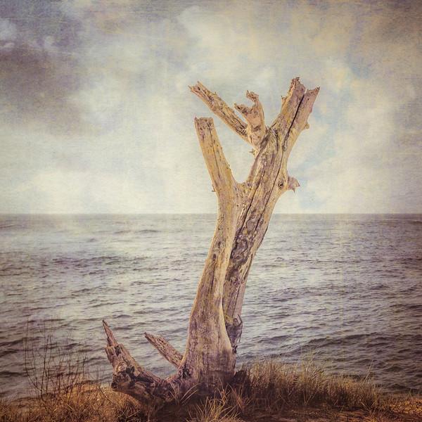 A Dead Tree by the Ocean