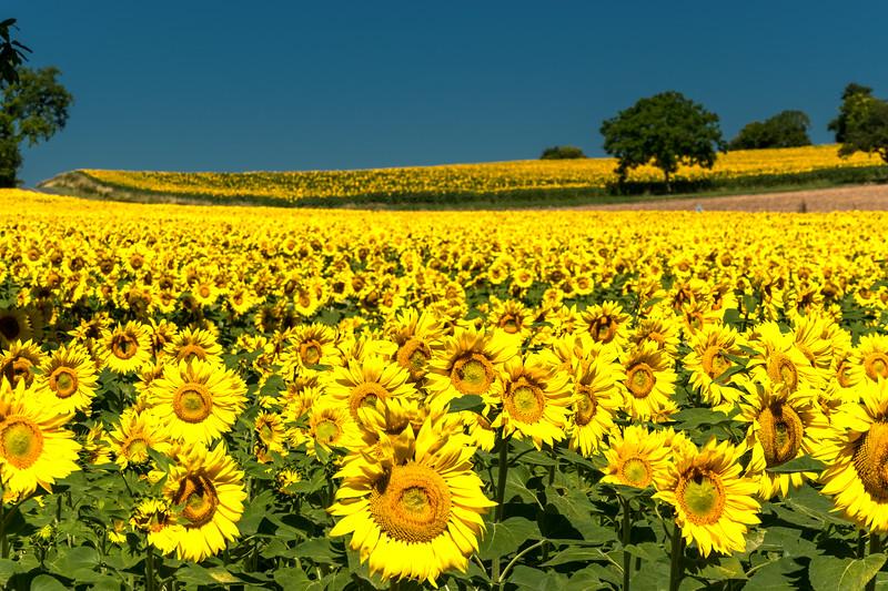 le rapt sunflowers