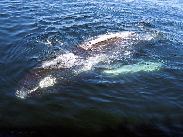 Whaling watching off the coast of Glouster, MA<br /> Just hanging out!<br /> May 2012