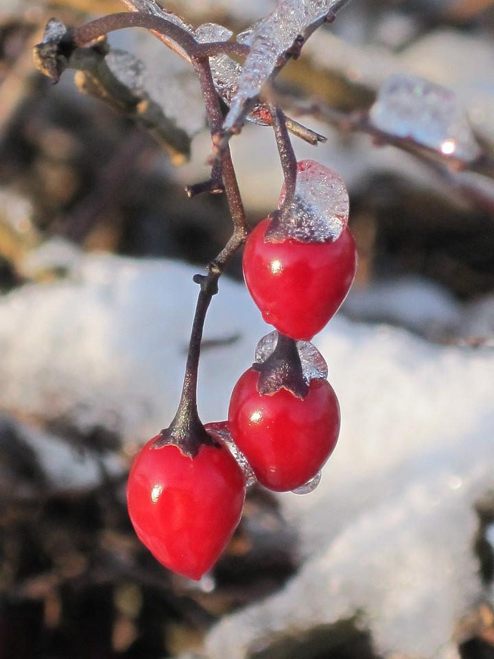Morning frost berries, York, UK