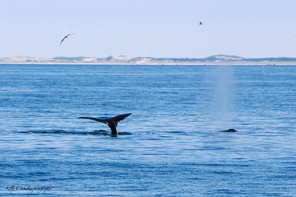 Whaling watching off the coast of Glouster, MA<br /> May 2012