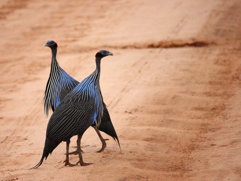 Birds crossing- Guinea Fowl ,Kenya