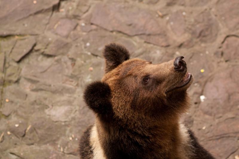 A bear in the Hangzhou zoo. It's like a teddy bear.