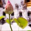 Lotus Blossom at Wat Pho, Bangkok Thailand