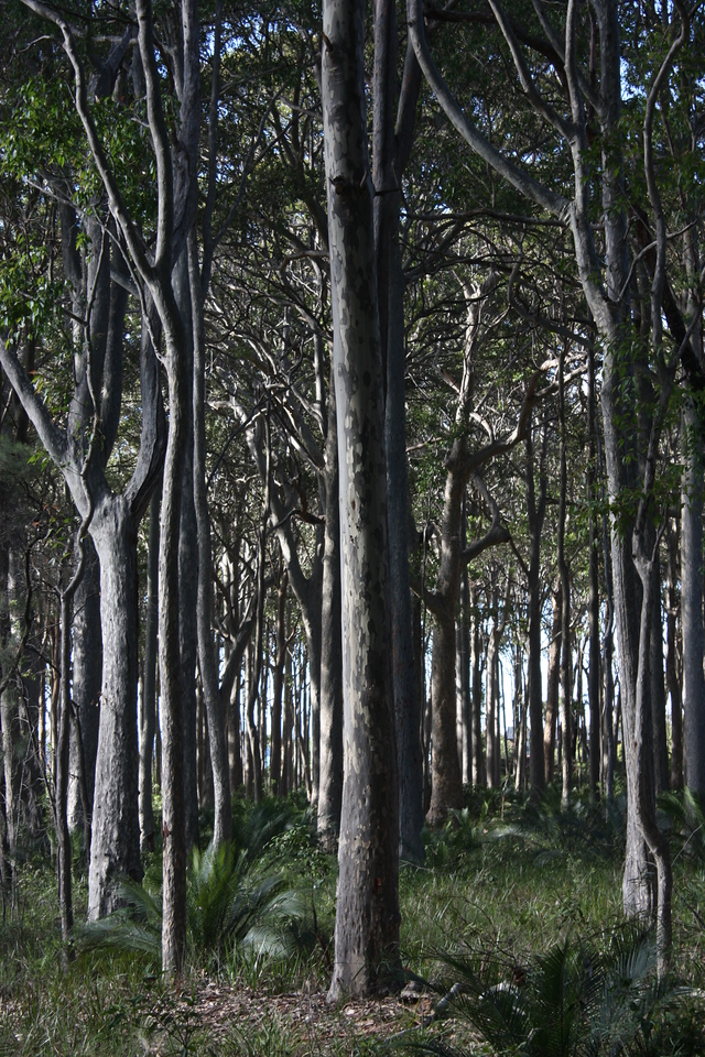 Forest of gums at Mystery Bay, New South Wales.