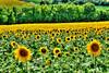 Charent Sunflowers