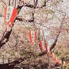 Lanterns on Display for Sakura