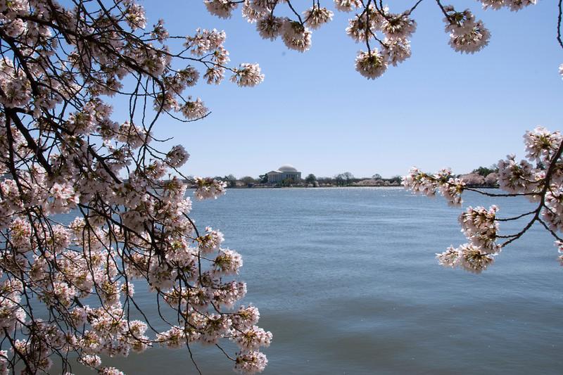 Cherry Blossoms, Tidal Basin, DC
