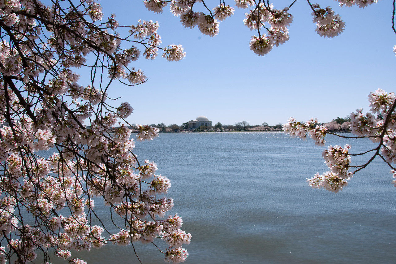 Cherry Blossoms, Tidal Basin, DC
