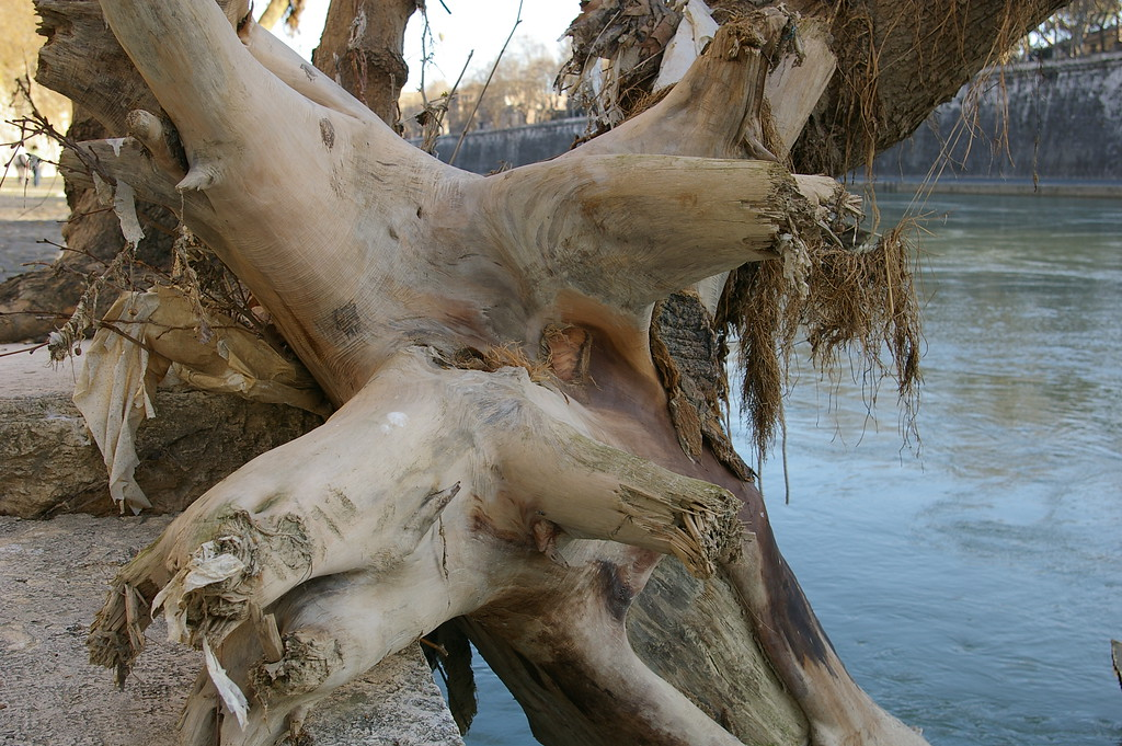 Tree from the flood, River Tiber,Rome