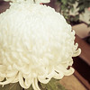 White Japanese Chrysanthemum