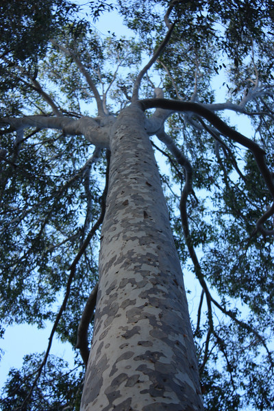 Gum tree, Mystery Bay,Australia