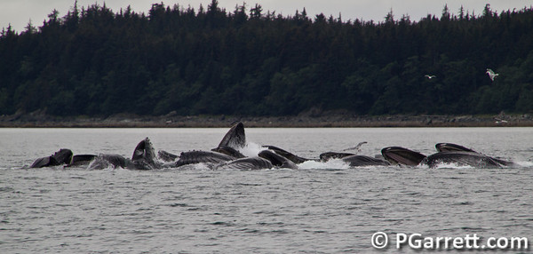 Whales frenzy eating near Juneau, Alaska