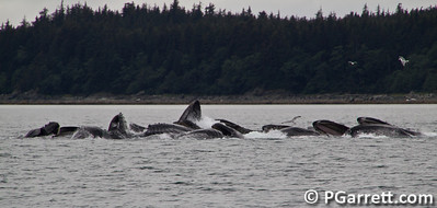 Whales frenzy eating near Juneau, Alaska