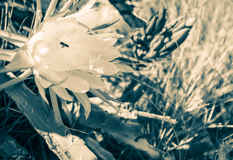 Cactus Flower Oahu, Hawaii