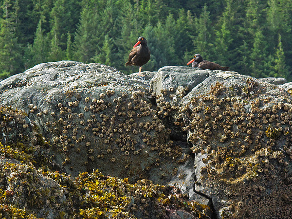 Black Oystercatcher feed singly for mollusks pried from rocks.