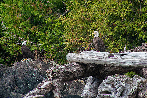 A pair of bald eagles watched us closely as we paddled by.