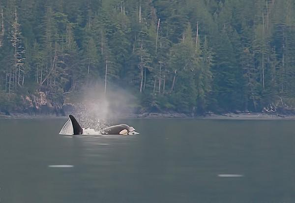 Orca just breaks water.