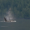 On the 4th day there was a parade of about 30 orca whales went by just as we started leaving camp.
