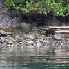 On both the 3d and 4th mornings we saw this bear looking for crabs on the shore next to our camp.