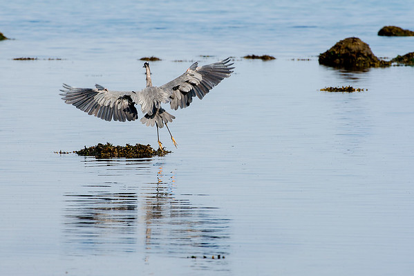More on this heron later in gallery.