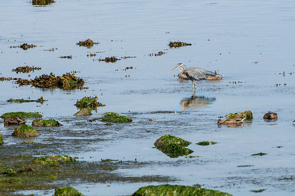 Blue heron at low tide.