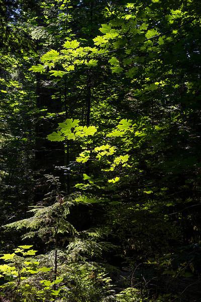 Bigleaf maple glows in a shaft of sunlight