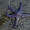 Blue Seastar.  Very abundant.
