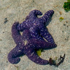Blue Seastars mating.