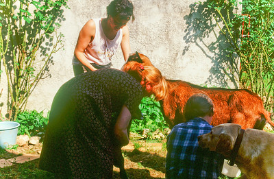 Three French Women milking a goat with the dog watching.