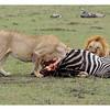 Lions, Vultures and Zebra on Rhino Ridge, Maasai Mara Reserve, Kenya, 2009