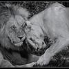 Lion mating ritual - 5 shots