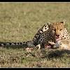Cheetah, Mara North Conservancy, Kenya, 2009