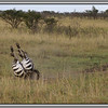 Zebra workout<br /> This isn't perhaps a very good photograph, but zebras make me smile. Got to love them.