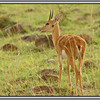 Oribi<br /> A very pretty little antelope with a hole in its head - for scent marking.