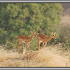 Impala Fawns<br /> I hope fawns is correct!