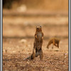 Incoming!<br /> This ground squirrel spotted a bird of prey in the sky - the mongoose already has it covered.
