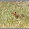 Slender Mongoose<br /> Since the Lodge is not fenced there is quite a bit of wildlife around. Nothing dangerous or big that we were aware of, but it's worth having a look around while people are all out on the evening drive.