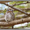 "The owlet has ""fake"" eyes in the back of its head. Without the benefit of a telephoto lens you cannot really see which way it is facing."