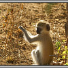 There are a number of vervet monkeys and yellow baboons around camp, but they are not too tame or too bothersome.