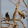 Best guess is a pair of tawny eagles (there is a dark morph) but I am really not confident about that.