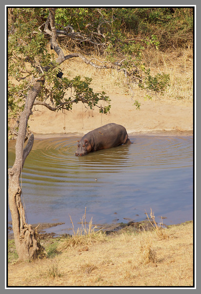 The Hippo that Keeps Time<br /> The waterhole had one resident hippo, who would leave to graze around dawn and return, almost like clockwork, at 3.45. The times he arrived back at the waterhole (reaching the edge of the water) were 3.44, 3.45, 3.45 and 3.54 - late on the last day for some reason. The manager told us he was right on time every day. Leaving at dawn I understand - he's reacting to an environmental change, but what's with 3.45?!?